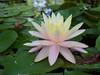 water lily DSCN7234