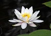 waterlily IMG_2351