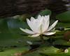 water lily DSCN7082