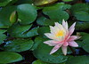 water lily IMG_0109