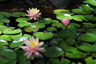 Water Lilies 2009