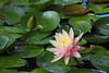 water lily IMG_0115