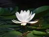 water lily DSCN7077