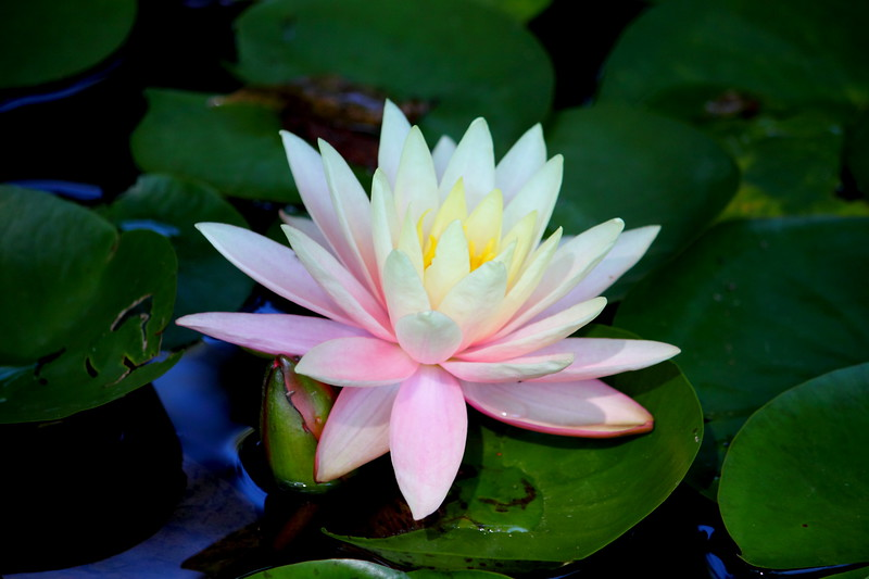 waterlily IMG_2735