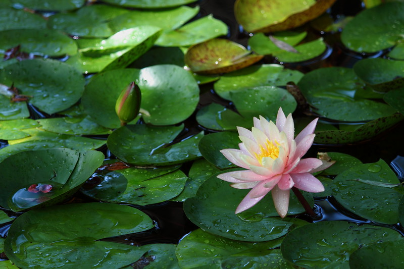 water lily IMG_0110 (2)