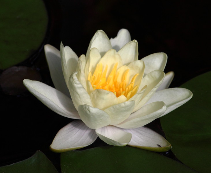 water lily IMG_2221