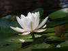 water lily DSCN7074