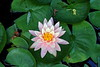 water lily IMG_0297