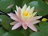 water lily DSCN7257