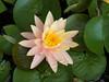 water lily DSCN7238