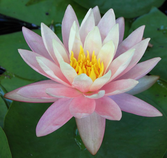 water lily IMG_0296