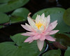water lily IMG_0017
