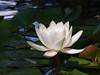 water lily DSCN7076