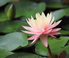 water lily IMG_0028c