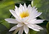 white lily 3360