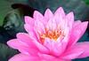 pink lily closeup
