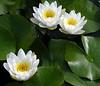 three white lilies_sm