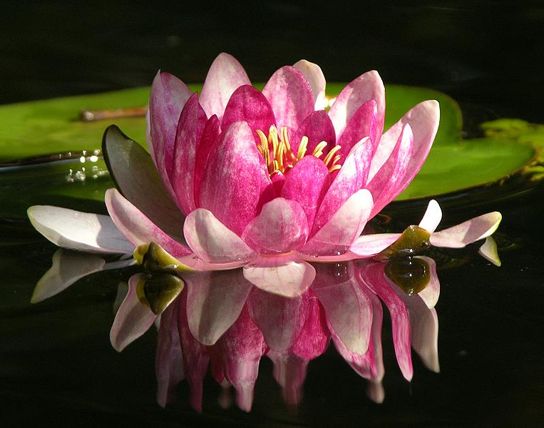 pink water lily3244