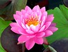 pink water lily3371
