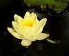 water lily IMG_6083