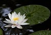 water lily IMG_6055
