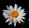 daisy IMG_6534