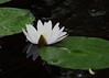 water lily IMG_6183