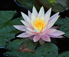 water lily IMG_5960