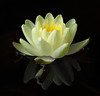 water lily IMG_6086