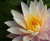 water lily IMG_6058