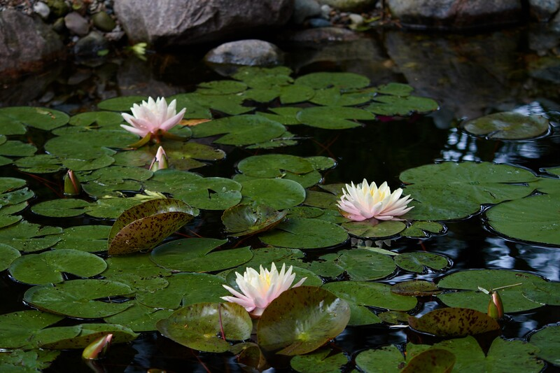 water lily IMG_6078