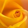 Rose<br /> 2013