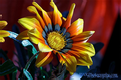 Blue yellow red flower
