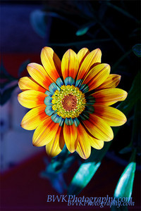 Blue yellow red flower 2