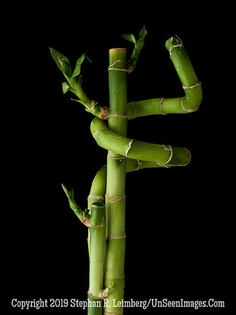 Chinese Bamboo 2 A0002459