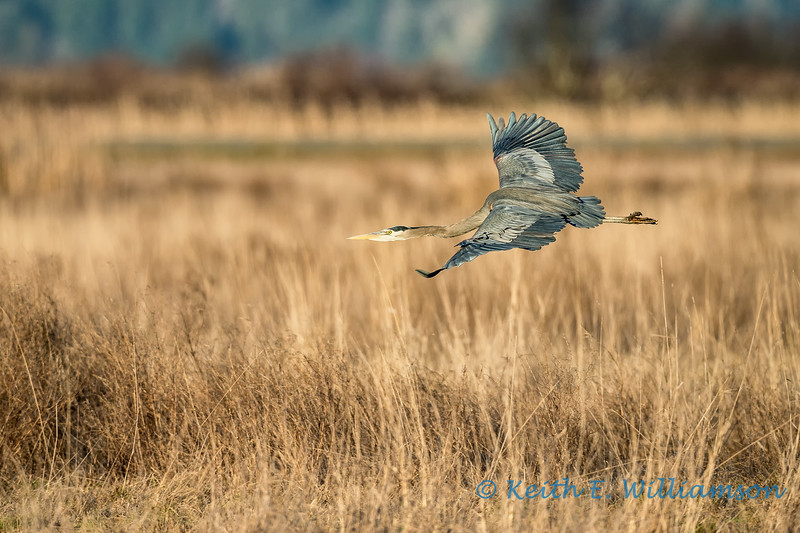 Great Blue Heron, Samish Flats