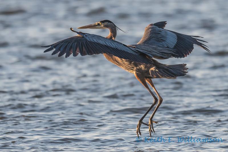 Great Blue Heron, landing