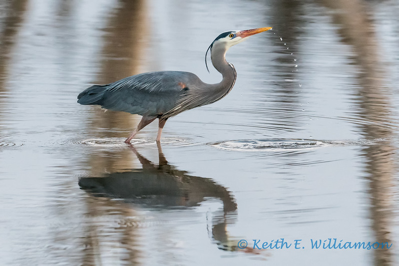 Great Blue Heron, Fir Island