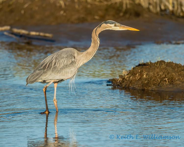 Great Blue Heron, fishing