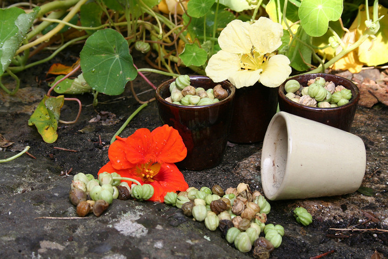 collecting the nasturtium seeds for next year!