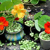 and the 2009 nasturtium seeds, for this coming spring