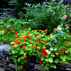 the nasturtium - from last years collected seeds!