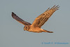 Northern Harrier - 13