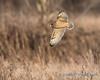 Short-eared Owl - 6