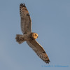 Short-eared Owl - 9