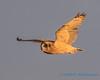 Short-eared Owl - 11