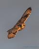 Short-eared Owl - 16