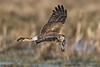 Northern Harrier - 5