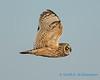 Short-eared Owl - 3