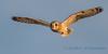 Short-eared Owl - 8